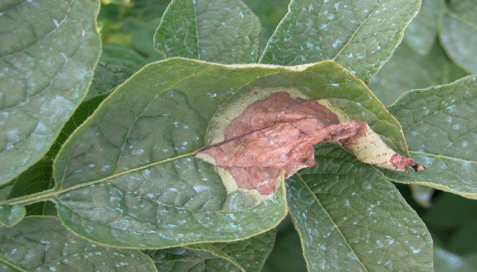 Late blight symptoms on potato leaf
