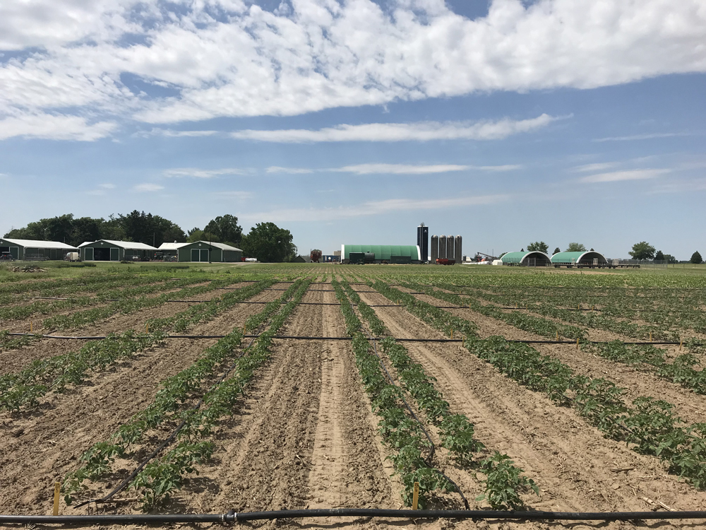 Tomato plots at Ridgetown Campus University of Guelph