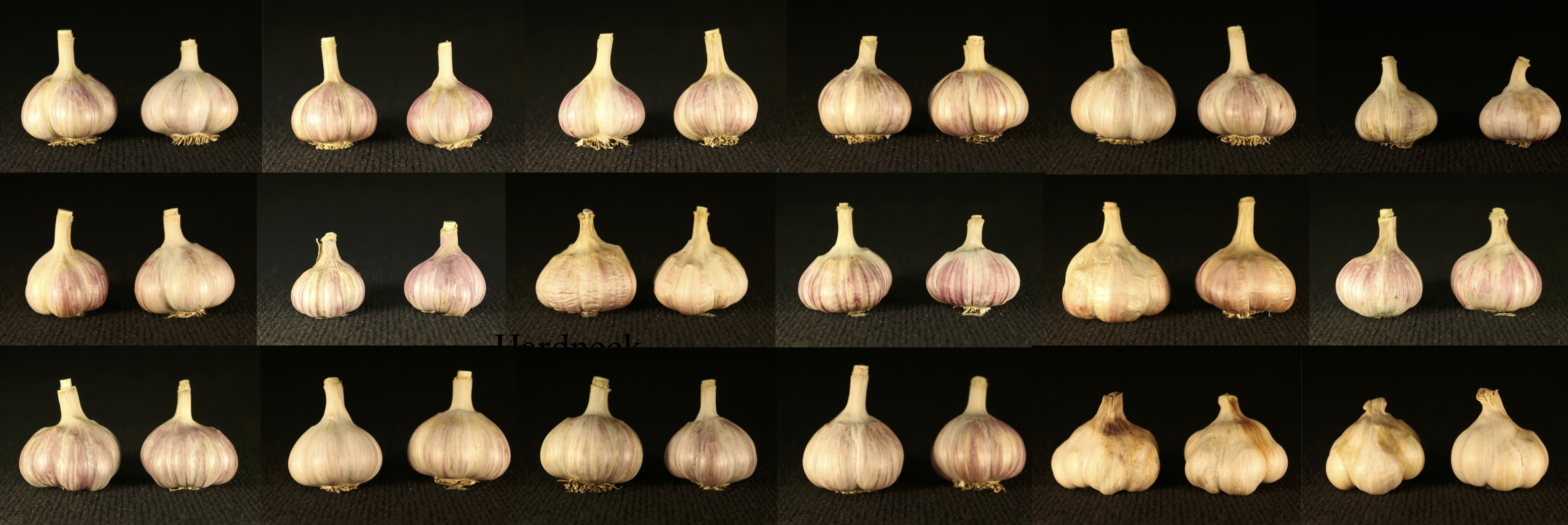 Garlic bulbs from cultivar trial