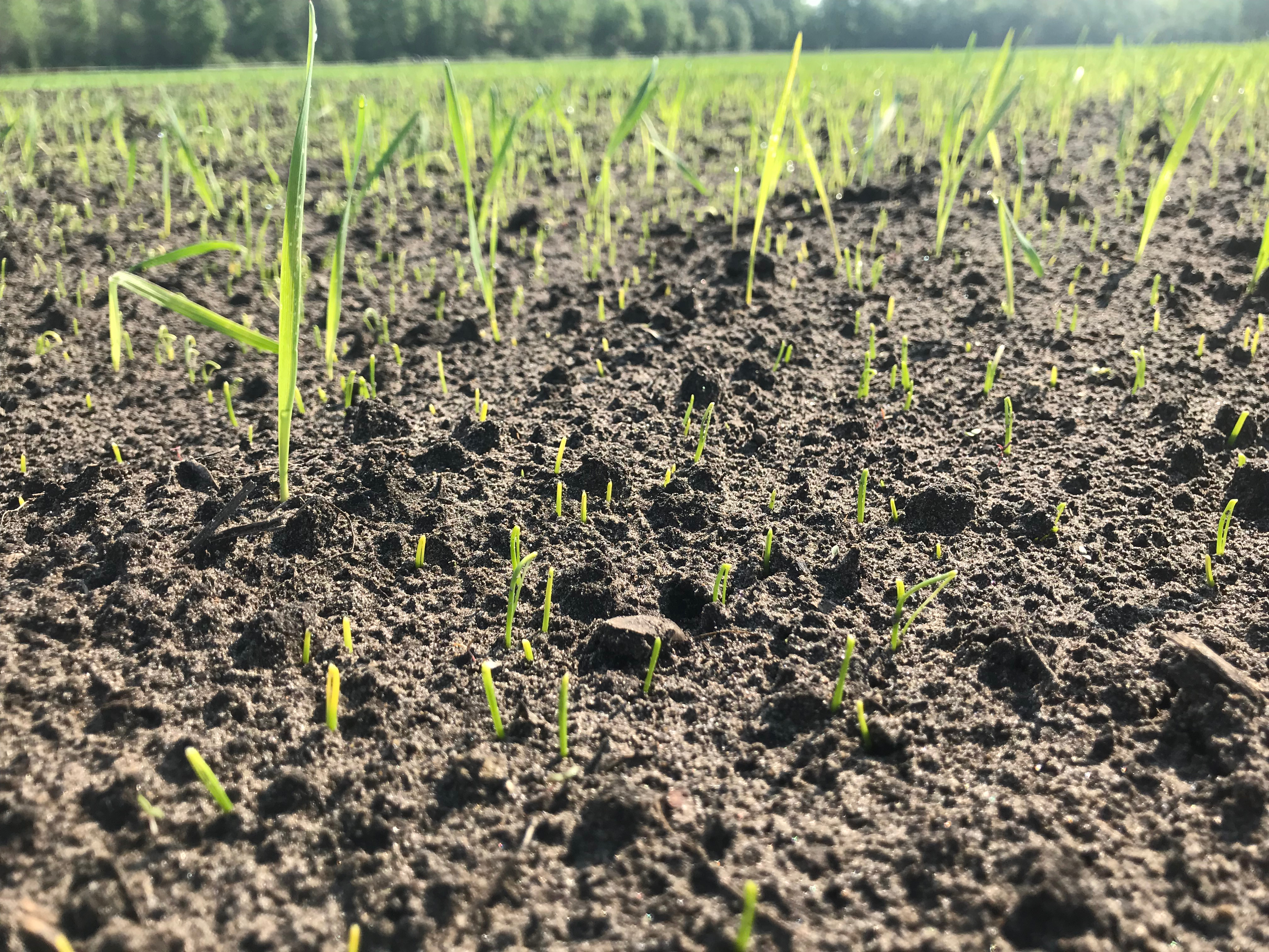 Green onions at the flag leaf stage germinating